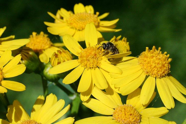 Senecio glabellus bee