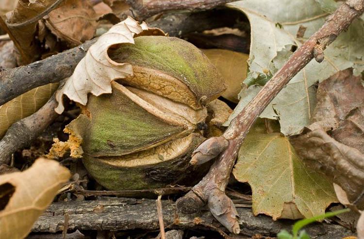 shagbark hickory nut
