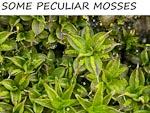 PECULIAR MOSSES