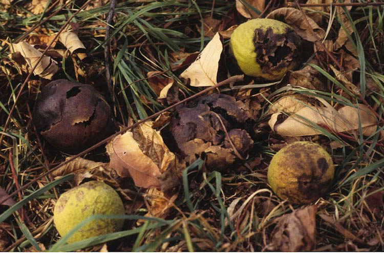 black walnut fruits