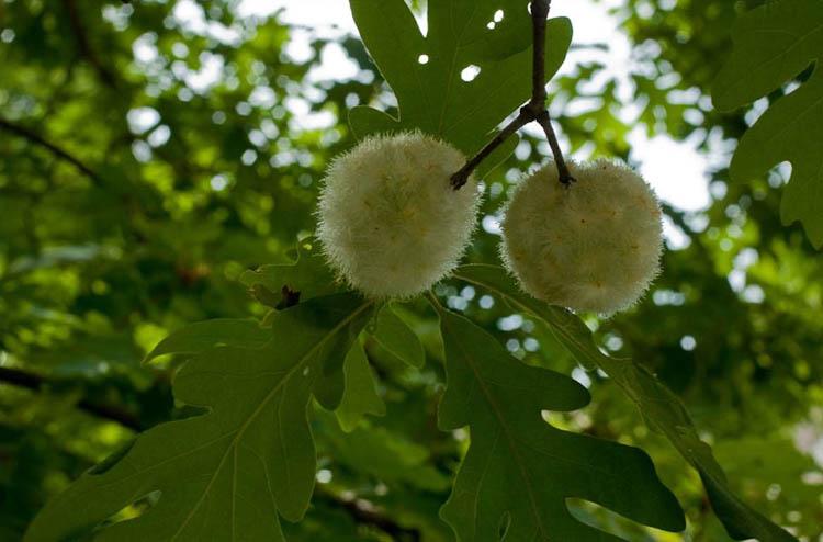 wooly oak gall