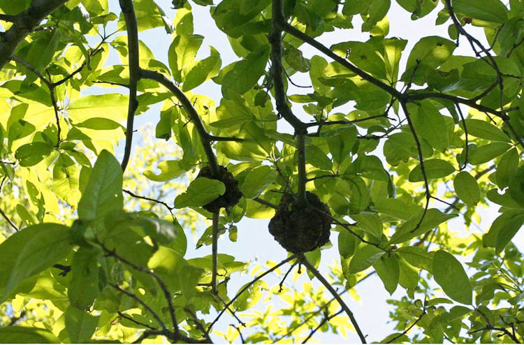 woody oak gall