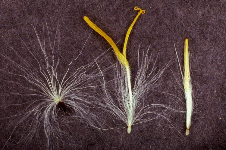 Sonchus flowers