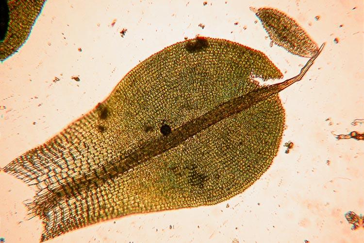 Syntrichia-laevipila-leaf