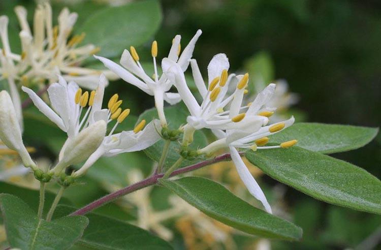 Tartarian honeysuckle flower