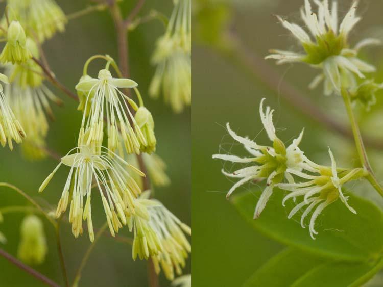 Thalictrum dasycarpum flowers