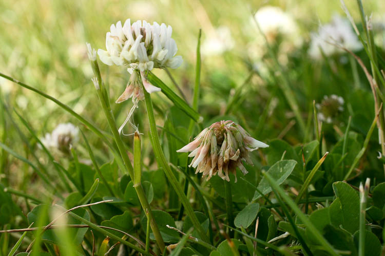 Trifolium repens fruitng