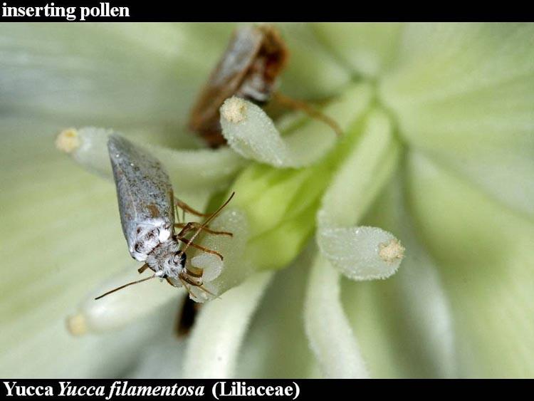 Yucca Tegeticula pollinating