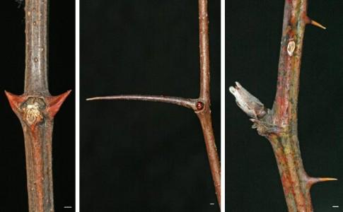 twig-robinia-pseudoacacia - Ohio Plants