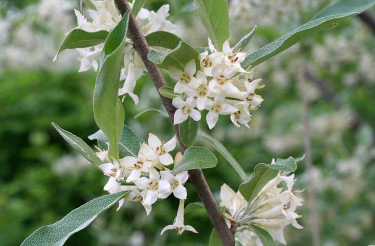 Invasives Ohio Plants