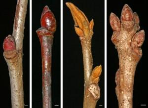twig-fraxinus-pensylvanica - Ohio Plants