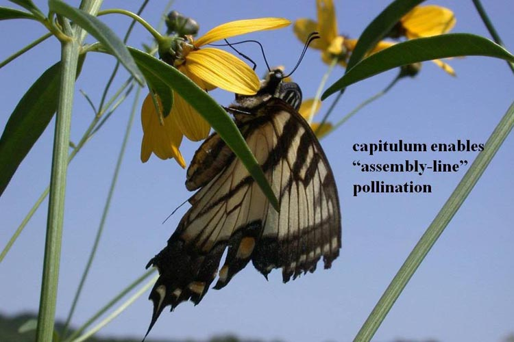 capitulum pollination