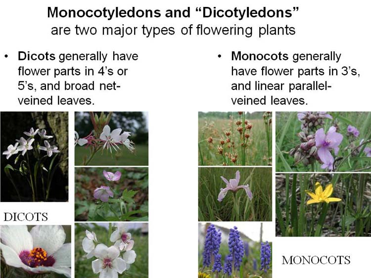 Plants – day 3 monocot & dicots. Introduction  there are.