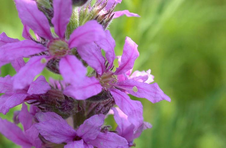 purple loosestrife flower (long-styled form)
