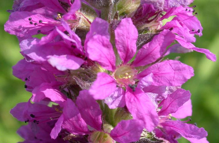 purple loosestrife flower (short-styled form)