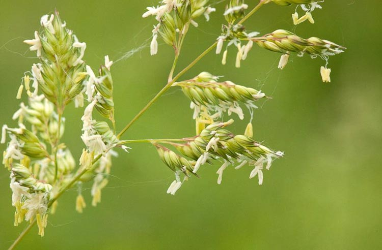 reed canary grass flowers
