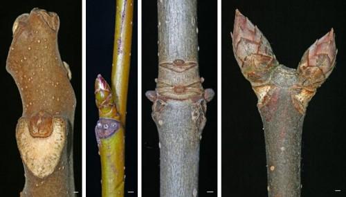twig-platanus-occidentalis - Ohio Plants