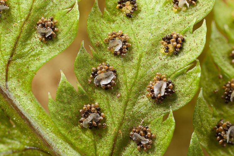 Dryopteris carthusiana sori