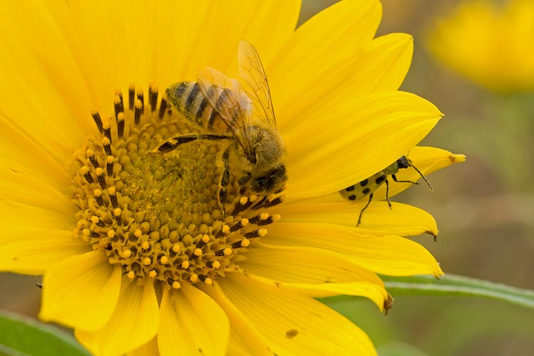 Helianthus honeybee