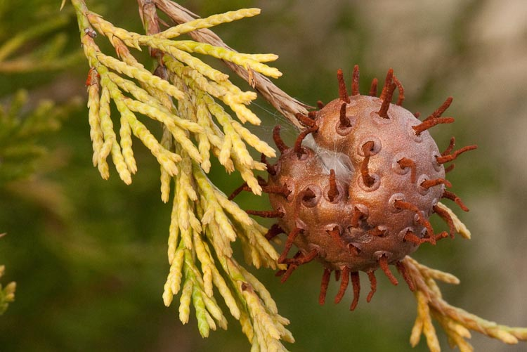 Juniperus virginiana apple rust