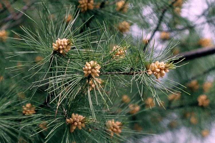 Pinus strobus