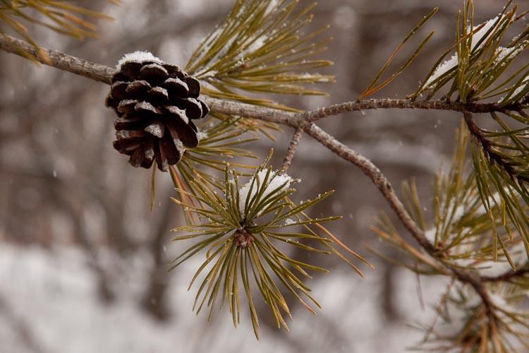 Pinus virginiana branch