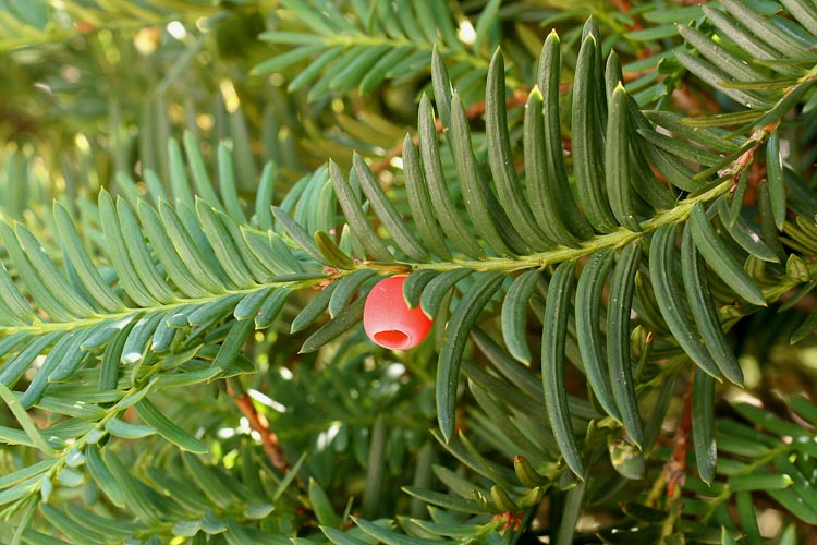 Taxus branch