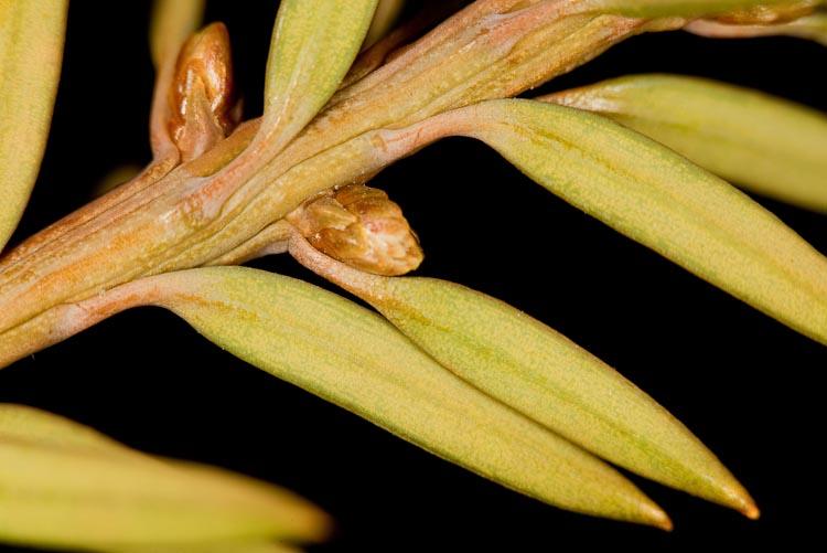 Taxus twig