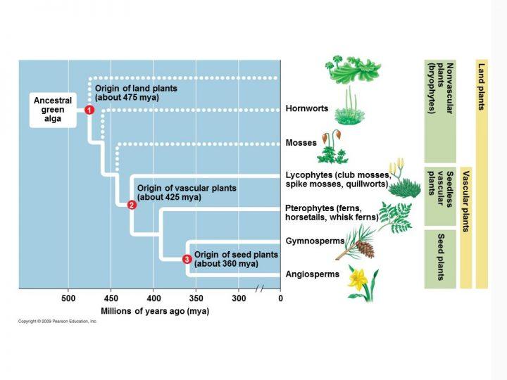 Phylogeny of the plant kingdom.
