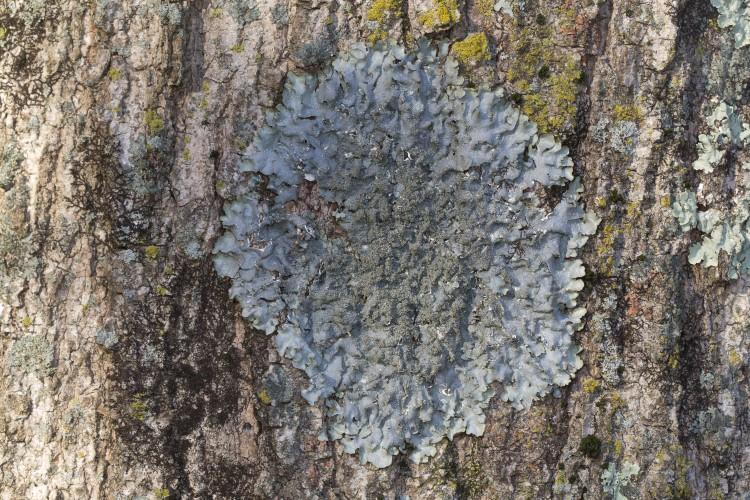 Rough speckled shield lichen, Punctelia rudecta