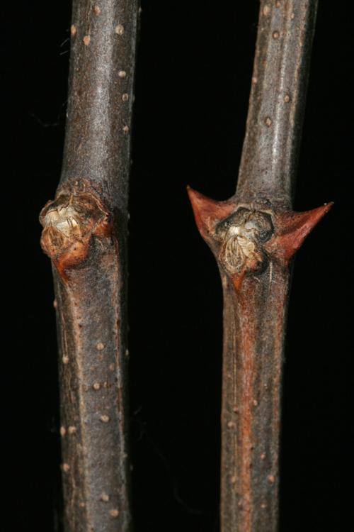 twiginfo - Ohio Plants