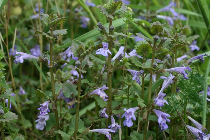 families-Lamiaceae – Ohio Plants