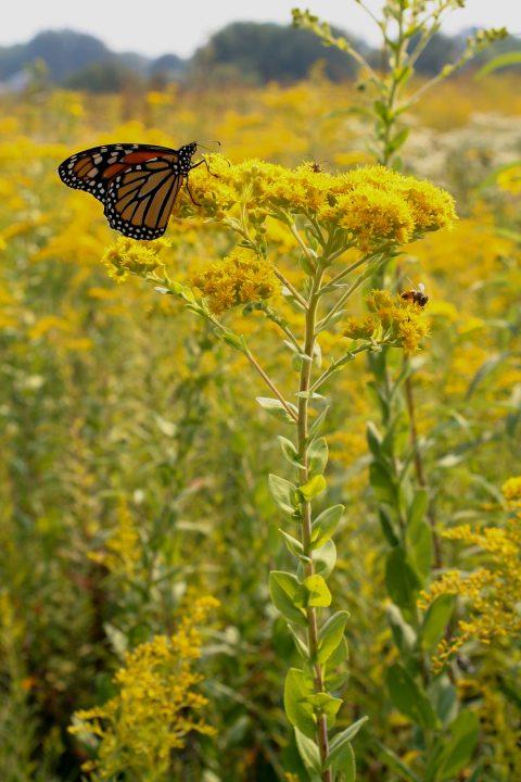 families-Asteraceae – Ohio Plants